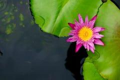 Τοπ άποψη κρίνων λουλουδιών ή νερού Lotus με το διάστημα αντιγράφων Στοκ φωτογραφία με δικαίωμα ελεύθερης χρήσης