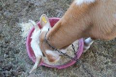 Τοπ άποψη μιας καφετιάς και άσπρης αγελάδας που τρώει το σανό στο πλαστικό κύπελλο στοκ εικόνες