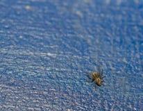 Τοπ άποψη μιας μικροσκοπικής αράχνης χλόης μωρών στο μπλε υπόβαθρο Στοκ φωτογραφία με δικαίωμα ελεύθερης χρήσης