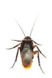 Τοπ άποψη μια νεκρή κατσαρίδα στο άσπρο υπόβαθρο Στοκ Φωτογραφία