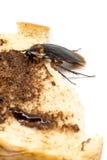 Τοπ άποψη μια νεκρή κατσαρίδα στο άσπρο υπόβαθρο Στοκ Εικόνες