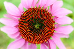 Τοπ άποψη λουλουδιών Echinacea Στοκ φωτογραφία με δικαίωμα ελεύθερης χρήσης