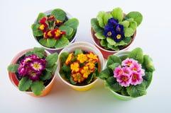 Τοπ άποψη σχετικά με τα πολύχρωμα λουλούδια στα δοχεία στο υπόβαθρο whte Στοκ φωτογραφίες με δικαίωμα ελεύθερης χρήσης