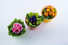 Τοπ άποψη σχετικά με τρία διαφορετικά λουλούδια primula χρώματος στο άσπρο υπόβαθρο Στοκ φωτογραφίες με δικαίωμα ελεύθερης χρήσης