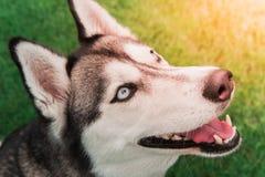 Τοπ άποψη της αστείας συνεδρίασης σκυλιών στο πάτωμα χλόης με το ραβδί tong έξω στοκ φωτογραφίες