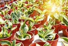 Τοπ άποψη της ομάδας κάκτου succulent σε ένα δοχείο Στοκ Φωτογραφίες