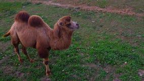 Τοπ άποψη του ζωικού βακτριανού περιστρεφόμενου κεφαλιού bactrianus Camelus καμηλών περίπου 360 και έπειτα του περιπάτου μακριά φιλμ μικρού μήκους