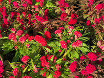 Τοπ άποψη του κόκκινου argentea Celosia cockscomb Στοκ φωτογραφίες με δικαίωμα ελεύθερης χρήσης