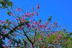 Τοπ άποψη του όμορφου δέντρου με τα ροδανιλίνης λουλούδια στους κήπους Tampa Bay του Μπους στοκ φωτογραφίες