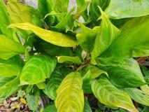 Τοπ άποψη του aglaonema φύλλων cochinchinense ή Araceae ως υπόβαθρο Στοκ Φωτογραφίες