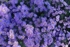 Τοπ άποψη των λουλουδιών των μαργαριτών Michaelmas Στοκ εικόνα με δικαίωμα ελεύθερης χρήσης