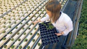 Τοπ άποψη των νεαρών βλαστών μαρουλιού στα δοχεία που παίρνουν στους δίσκους μετάλλων Υγιής έννοια παραγωγής προϊόντων φιλμ μικρού μήκους