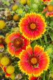 Τοπ άποψη των λουλουδιών - aristata Gaillardia Στοκ Εικόνα