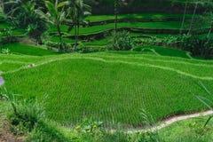 Τοπ άποψη των πεζουλιών ρυζιού με το νέο πράσινο ρύζι ανάπτυξης στο Μπαλί στοκ φωτογραφία με δικαίωμα ελεύθερης χρήσης