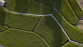 Τοπ άποψη των πράσινων εγκαταστάσεων ρυζιού Στοκ εικόνες με δικαίωμα ελεύθερης χρήσης