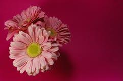 Τοπ άποψη των ρόδινων λουλουδιών της Daisy Στοκ Εικόνα