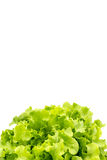 Τοπ άποψη των φύλλων σαλάτας, πράσινη βαλανιδιά στοκ φωτογραφία με δικαίωμα ελεύθερης χρήσης