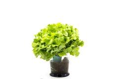 Τοπ άποψη των φύλλων σαλάτας, πράσινη βαλανιδιά στοκ εικόνες