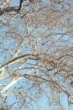 Τοπ κλάδοι δέντρων κάτω από τον μπλε καθαρό ουρανό Στοκ φωτογραφίες με δικαίωμα ελεύθερης χρήσης