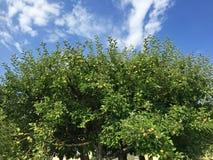 Τοπ μέρος του homegrown οργανικού δέντρου μηλιάς με πολλά φρούτα ενάντια στοκ φωτογραφία με δικαίωμα ελεύθερης χρήσης