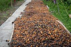 Τοπ betel άποψης - ξήρανση καρυδιών ή areca καρυδιών Στοκ Φωτογραφίες