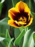 τουλίπα άνοιξη κίτρινη Στοκ εικόνες με δικαίωμα ελεύθερης χρήσης