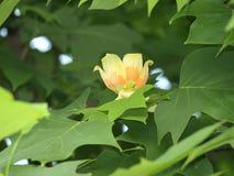 τουλίπα δέντρων λουλου Στοκ εικόνα με δικαίωμα ελεύθερης χρήσης