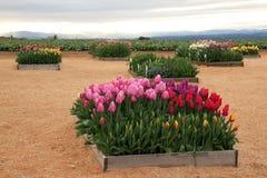 τουλίπα κήπων λουλουδ&io Στοκ φωτογραφία με δικαίωμα ελεύθερης χρήσης