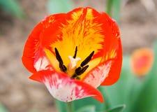 τουλίπα κήπων Στοκ Φωτογραφίες