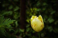 τουλίπα 01 κίτρινη Στοκ Εικόνες