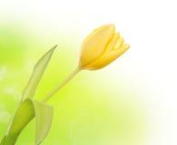 τουλίπα κίτρινη Στοκ φωτογραφίες με δικαίωμα ελεύθερης χρήσης