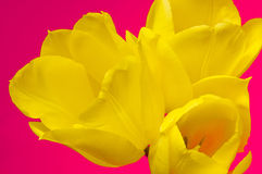 τουλίπα κίτρινη στοκ φωτογραφία με δικαίωμα ελεύθερης χρήσης