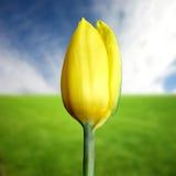 τουλίπα κίτρινη Στοκ Εικόνες