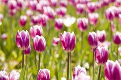 τουλίπα κηπουρικής Στοκ φωτογραφία με δικαίωμα ελεύθερης χρήσης