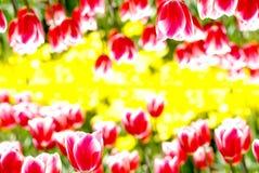 τουλίπα λουλουδιών αν&alp Στοκ Εικόνες