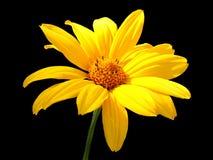 τουλίπα λουλουδιών Στοκ Φωτογραφίες