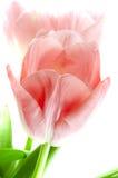τουλίπα λουλουδιών Στοκ εικόνες με δικαίωμα ελεύθερης χρήσης