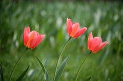 τουλίπα λουλουδιών στοκ φωτογραφίες με δικαίωμα ελεύθερης χρήσης