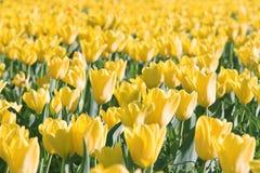 τουλίπα πεδίων κίτρινη Στοκ εικόνα με δικαίωμα ελεύθερης χρήσης