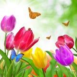 τουλίπα πεταλούδων Στοκ εικόνα με δικαίωμα ελεύθερης χρήσης