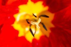 Τουλίπα στη φύση Μακροεντολή Στοκ εικόνα με δικαίωμα ελεύθερης χρήσης