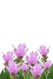τουλίπα του Σιάμ Στοκ φωτογραφία με δικαίωμα ελεύθερης χρήσης