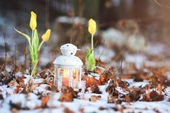 Τουλίπες Κίτρινες τουλίπες το χειμώνα στο χιόνι Φωτισμένος από ένα φανάρι με ένα κερί Χριστούγεννα μαγικά Στοκ φωτογραφία με δικαίωμα ελεύθερης χρήσης