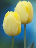 τουλίπες κίτρινες στοκ εικόνες με δικαίωμα ελεύθερης χρήσης