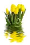 τουλίπες κίτρινες Στοκ φωτογραφία με δικαίωμα ελεύθερης χρήσης