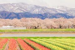 Τουλίπες και δέντρα ή sakura ανθών κερασιών με το ιαπωνικό Al Στοκ φωτογραφία με δικαίωμα ελεύθερης χρήσης