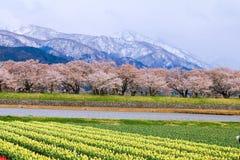 Τουλίπες και δέντρα ή sakura ανθών κερασιών με το ιαπωνικό Al Στοκ φωτογραφίες με δικαίωμα ελεύθερης χρήσης