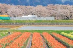 Τουλίπες και δέντρα ή sakura ανθών κερασιών με το ιαπωνικό Al Στοκ Φωτογραφίες