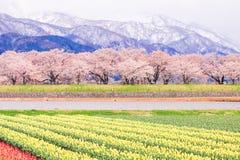Τουλίπες και δέντρα ή sakura ανθών κερασιών με το ιαπωνικό Al Στοκ Φωτογραφία
