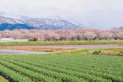 Τουλίπες και δέντρα ή sakura ανθών κερασιών με το ιαπωνικό Al Στοκ Εικόνα